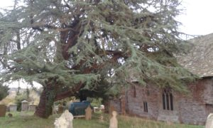 Large cedar tree in churchyard