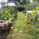 Nasturtium flowers and polytunnels on the allotments