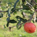 A red apple on a tree