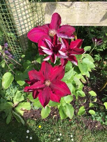 Two deep pink clematis flowers