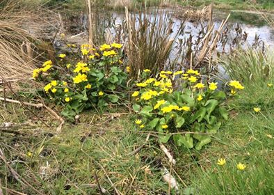 Yellow flowers and pond