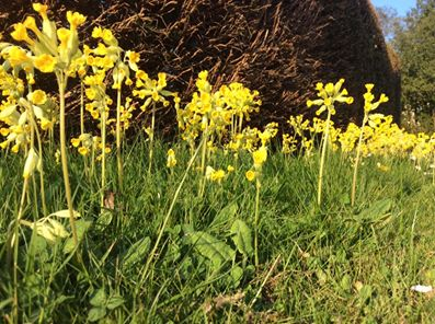 Yellow cowslips growing in grass
