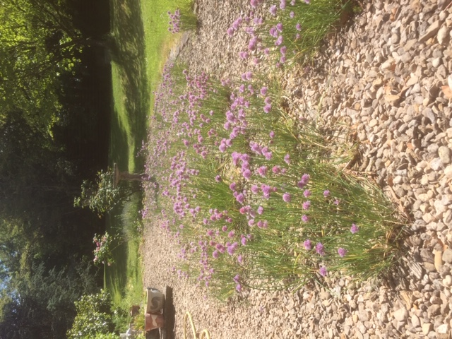 Purple chive flowers growing in gravel with grass and trees behind