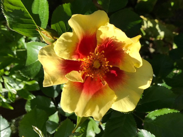 A yellow flower with a red centre