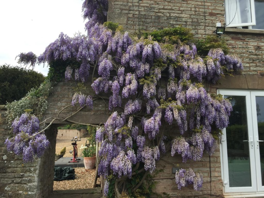 Purple wisteria growing up the wall of a house with an exercise bike in the background