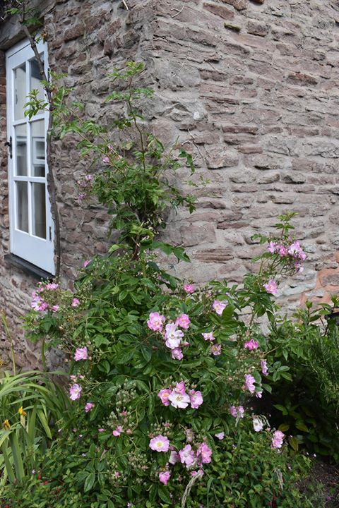 Pink roses climbing up the wall of a house