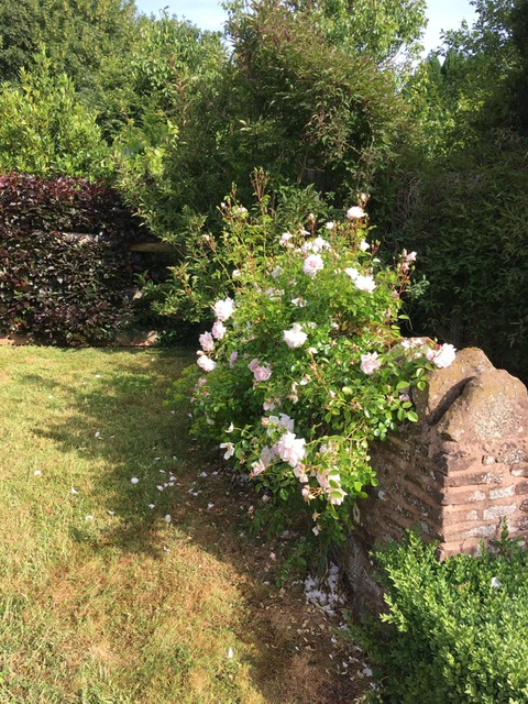 Pink roses rambling on a stone wall