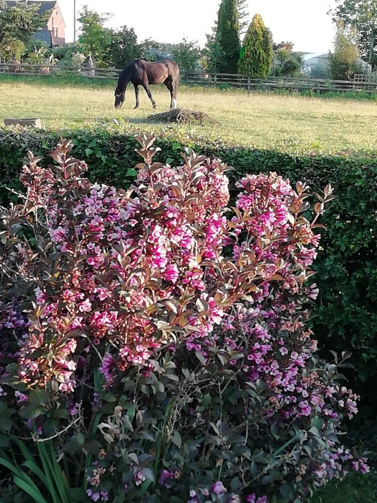A horse in a field with pink flowers