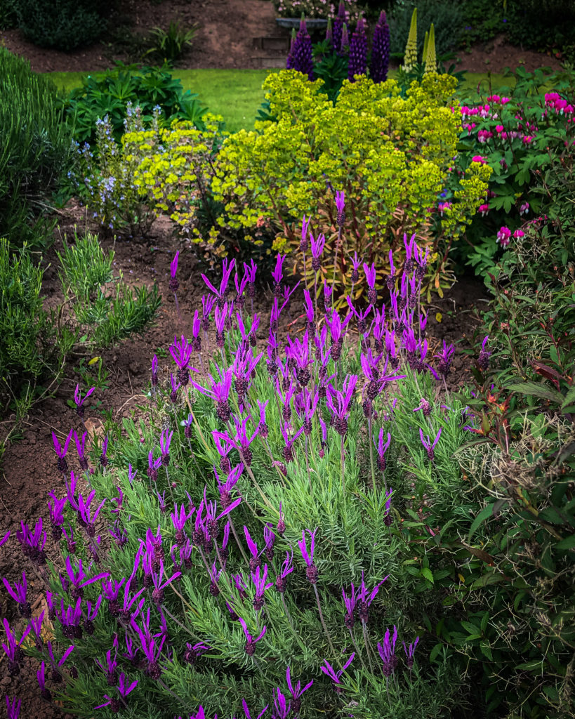 Lavender and lupins