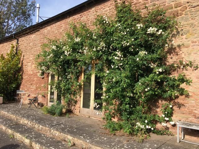 White climbing rose on the wall of a house