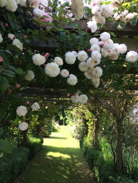 White roses trailing over an arbor