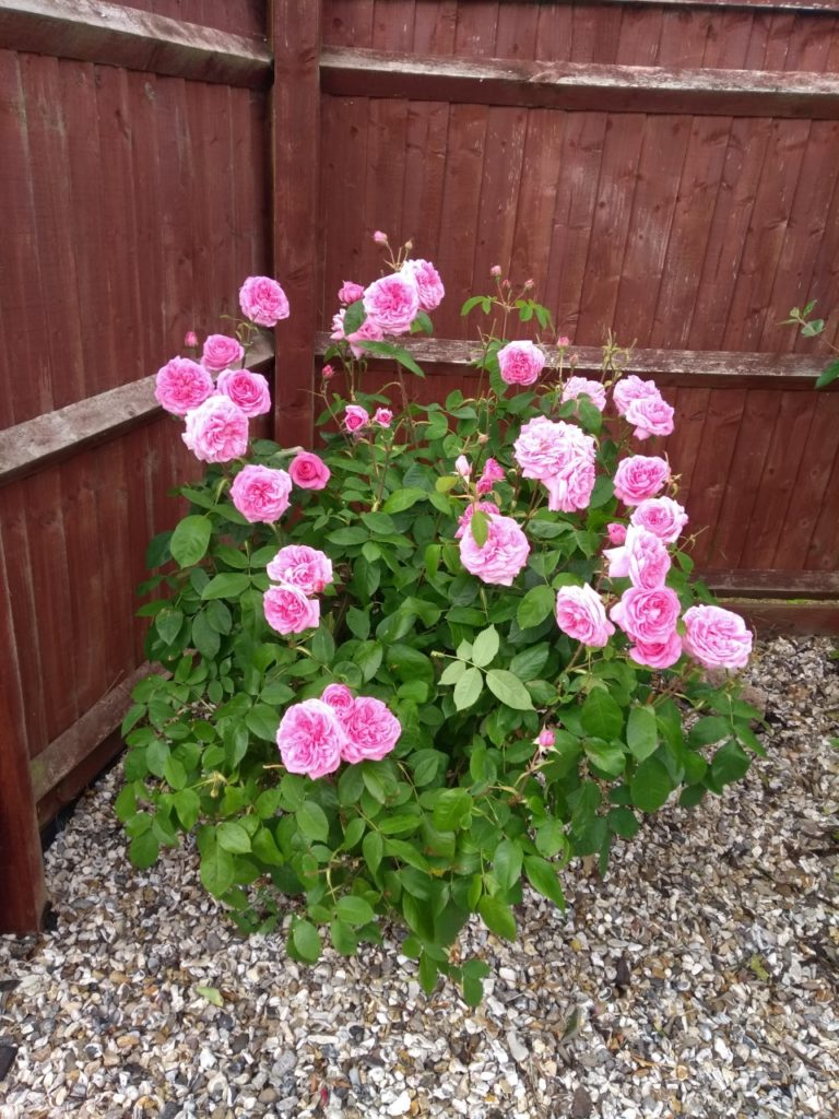 Pink roses against a fence