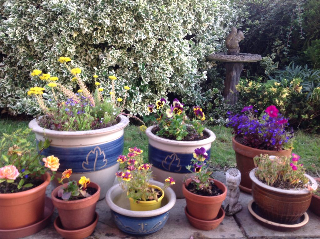 Flowering plants in pots with a green and white bush in the background
