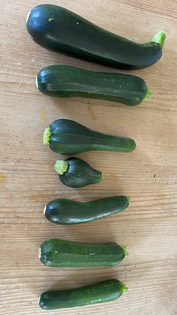 Seven different sized courgettes