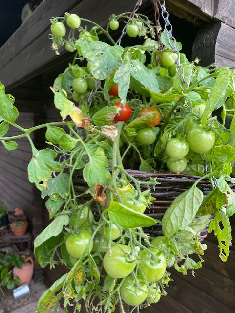 Red and green tomatoes in a hanging basket