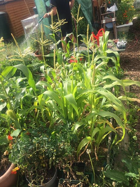 A person watering sweetcorn plants