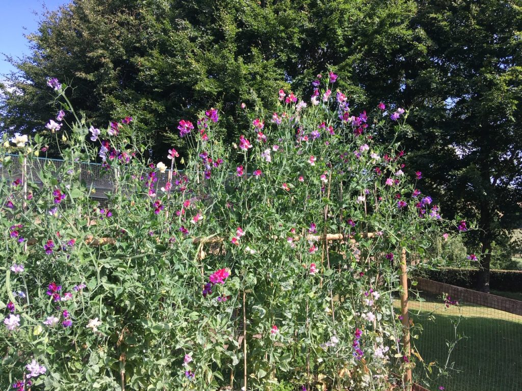 A mass or purple and pin sweet peas