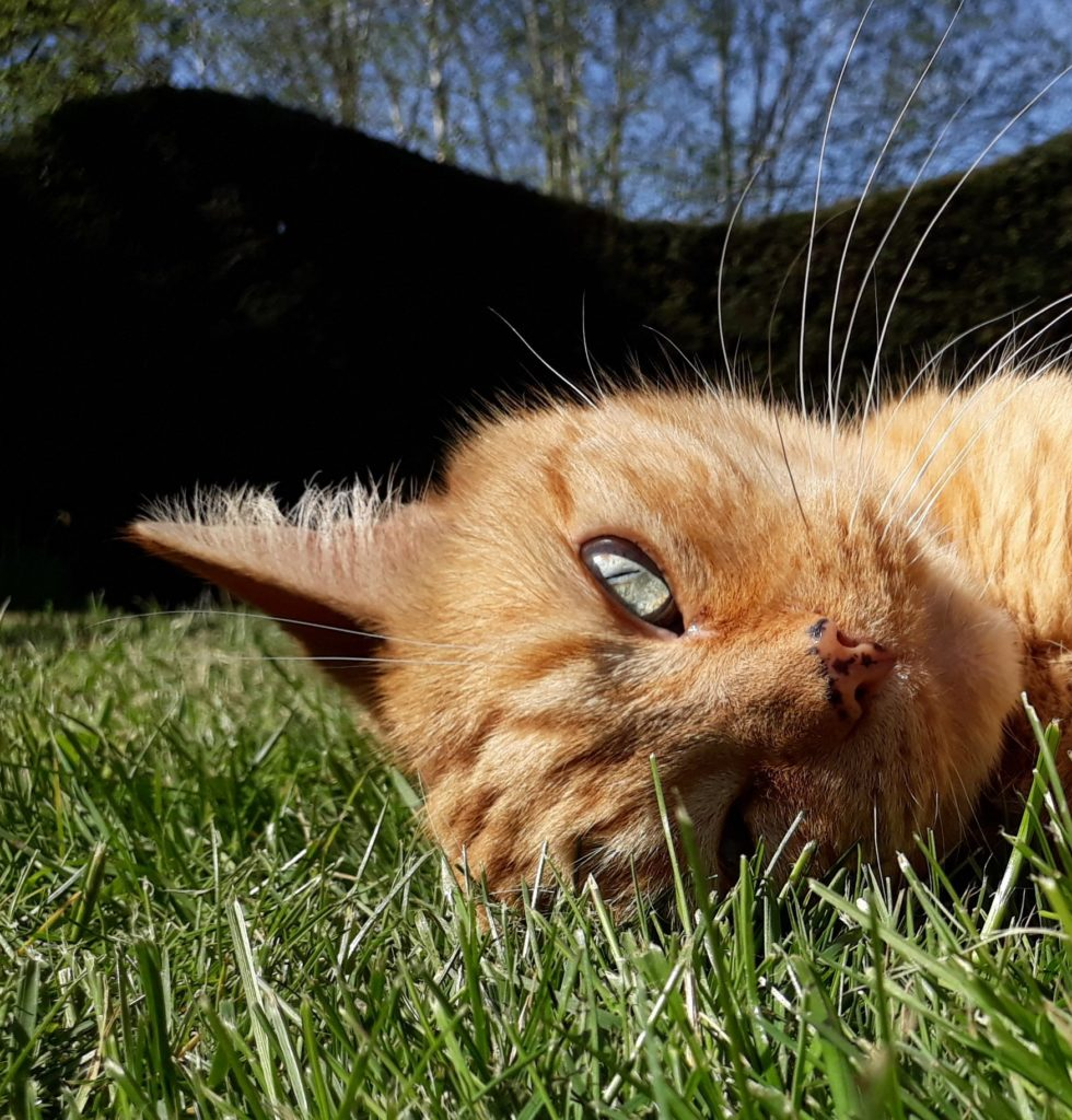 A ginger cat lying on the grass
