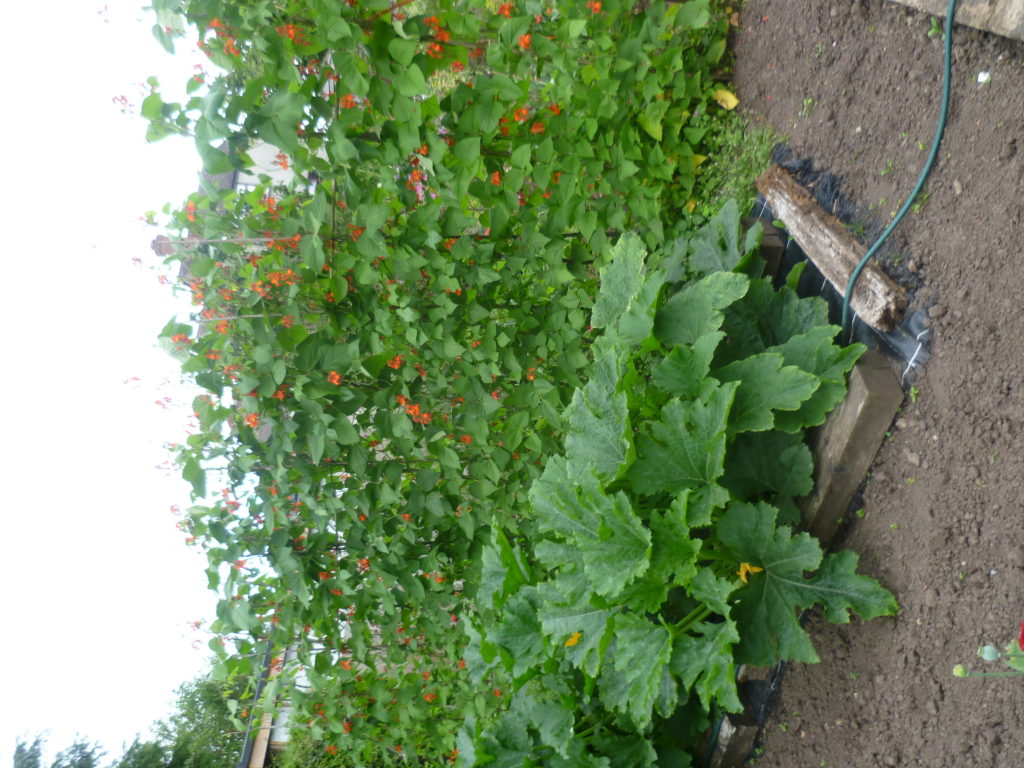 Bean and courgette plants