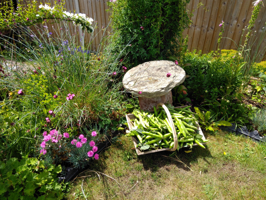 A harvest of beans in a trug in front of a flower bed and a stone ornament