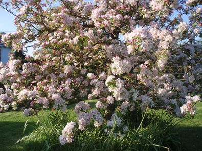 Apple tree covered in blossom