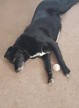 Black and white dog with a ball