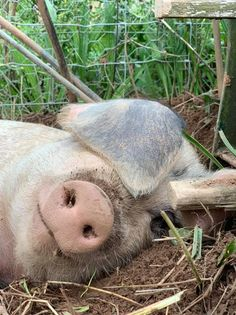 A contented looking pig