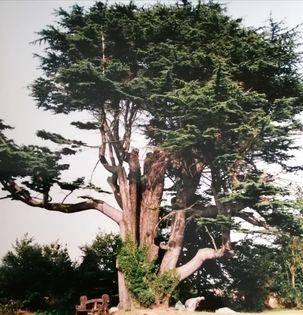 Cedar at the Old Vicarage