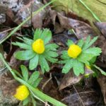 Yellow aconites in bloom
