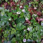 Pale purple violets with green leaves
