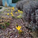 Yellow crocuses in a gravel path