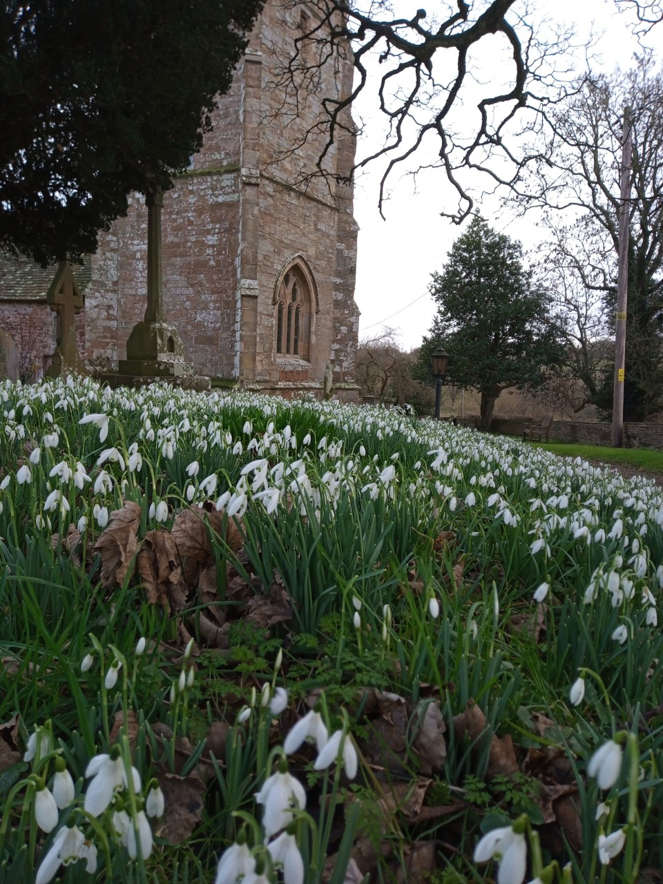 White snowdrops in the churchyard